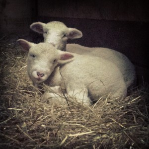 Baby lambs are usually born in late January and February. So cute to cuddle after your sleigh ride.