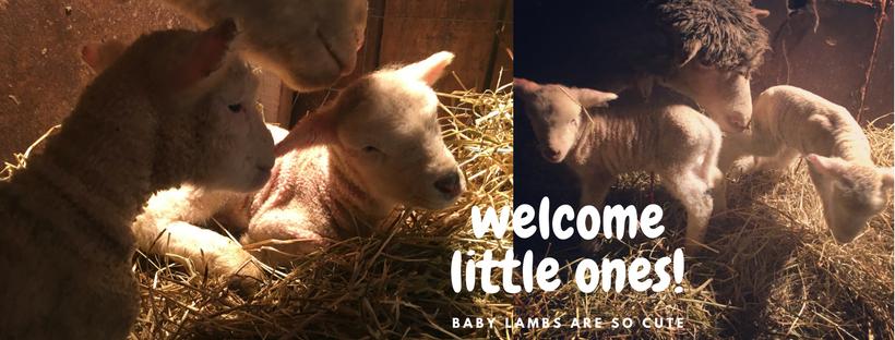 #pettingzoo #lambs #farmingOntario